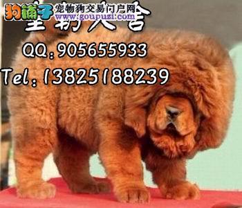 广州天河区哪里有卖藏獒幼犬 广州哪里有卖藏獒犬