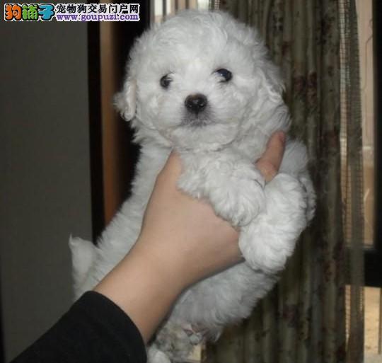 各品种的宠物犬上海等地哪里买好 基地繁殖出售幼犬