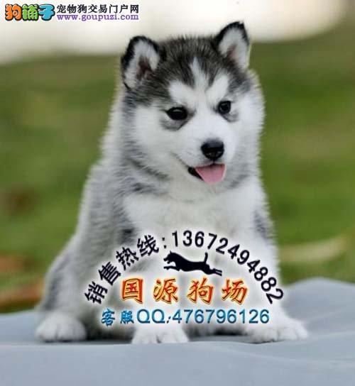 广州最大哈士奇狗场 广州什么地方有卖纯种健康哈士奇