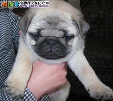 CKU犬舍认证出售纯种巴哥犬赛级品质血统保障