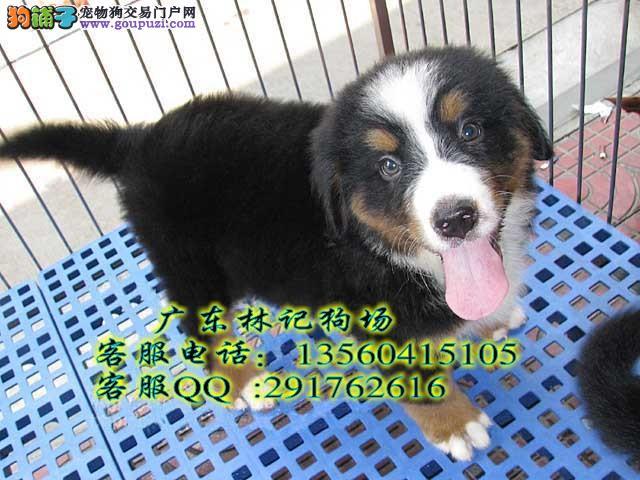 广州伯恩山犬幼犬买卖哪里有 广州出售家养纯种