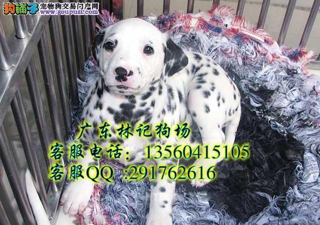 广州哪里有卖斑点狗 大麦町犬斑点狗