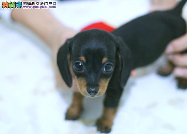 深圳哪里可以买纯种腊肠犬幼犬