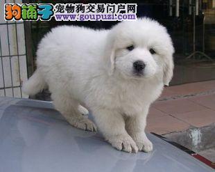 CKU认证纯种大骨架大白熊幼犬毛量足骨量多品相好