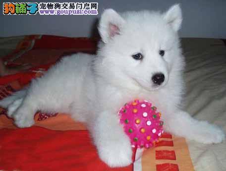包犬瘟细小90天包退换纯种萨摩耶雪橇犬澳版萨摩耶犬