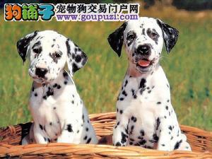 出售纯种斑点狗 高品质斑点狗 多只可选 已做疫苗驱虫