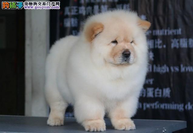 上海大规模养殖基地诚信对外直销松狮犬 颜色齐包健康
