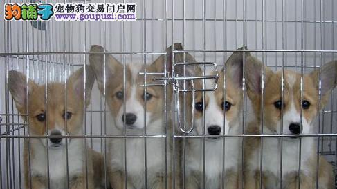 英国威尔士柯基幼犬出售了,孩子老人的最佳伴侣 伙伴