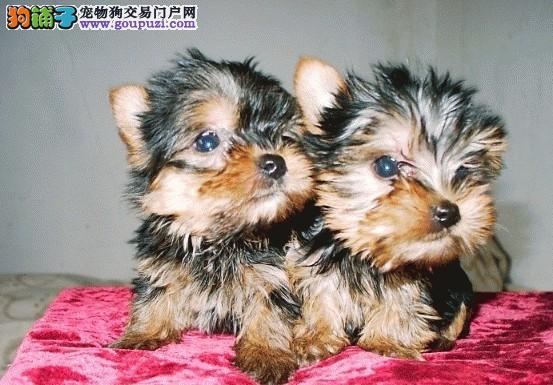 买纯种健康的约克夏宝宝请放心来松江养殖犬舍签协议
