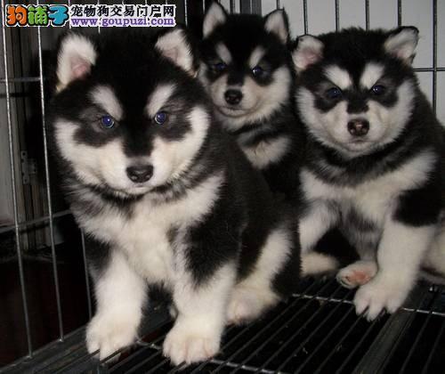 阿拉斯加雪橇犬 红色 烟灰色 黑白 松江基地常年繁殖卖
