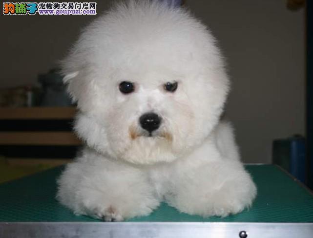 哪里能买到喜爱的纯种卷毛比熊宝宝,松江犬场繁殖比熊