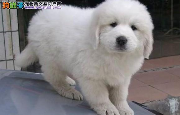要猛犬大型大白熊犬的朋友可以实地参观挑选包纯健康