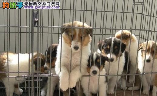 可利的黑羊 苏格兰牧羊犬 出售纯种苏牧幼犬公母都有