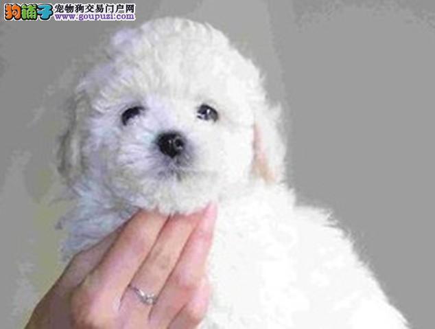 萌翻啦大爆毛贵宾犬出售 签协议保健康 可送货 借配种