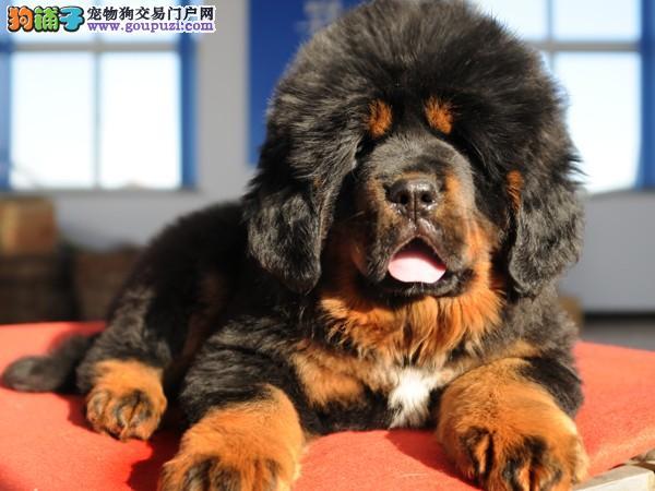 藏獒幼犬 颜色齐全 狮头幼獒 包健康 可以送货上门参观