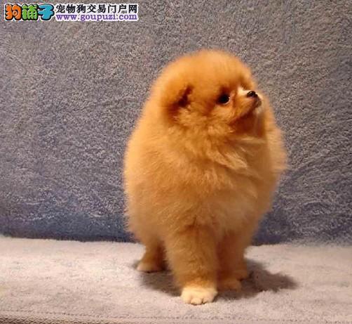 上海松江区正规犬舍繁殖出售哈多利亚球形博美包健康