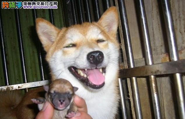 出售纯种日系秋田犬幼犬和日本柴犬幼犬 可上门包健康