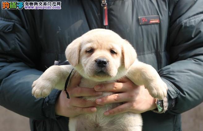 奶油色黑色 咖啡色 黄色纯种健康拉布拉多幼犬犬场出售