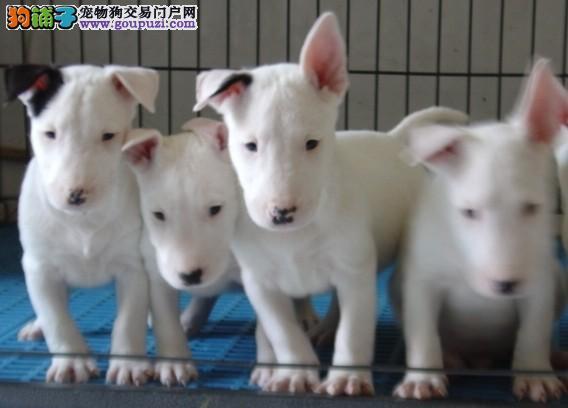 弹头牛头梗幼犬出售了包纯种健康正宗小斗狗幼犬卖