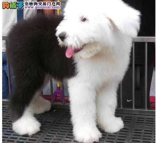 纯种可爱古牧幼犬宝宝 白头通背 四蹄踏雪 品相一流