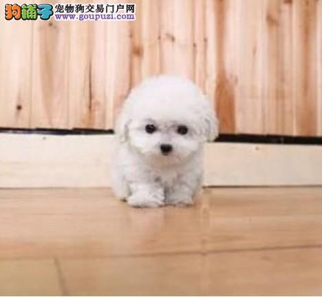 极品泰迪犬幼犬、高端大气精典品质、三包终生协议