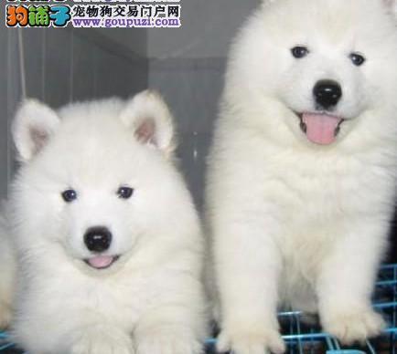萨摩耶幼犬上海哪里有正规基地繁殖哪个犬舍可以诚信