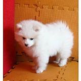 银狐犬贵阳CKU认证犬舍自繁自销签订终身纯种健康协议
