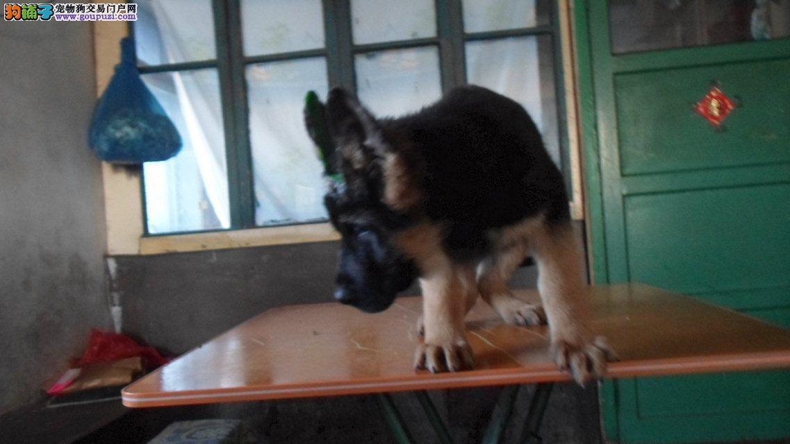 {尊享犬业}三十年专业繁殖 全国最顶级警犬一德牧