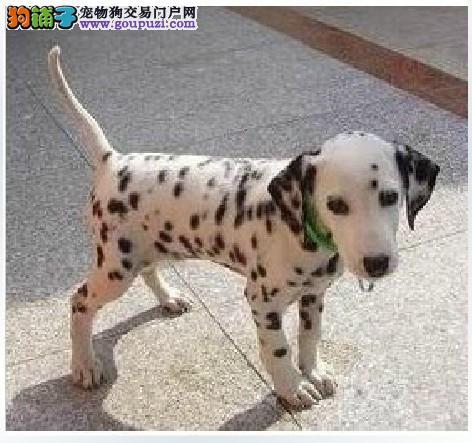 斑点狗是否适合当宠物吗价格怎么样