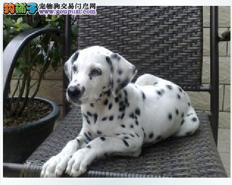 三折优惠出售 温柔可爱活泼而又亲近的人斑点狗可上门