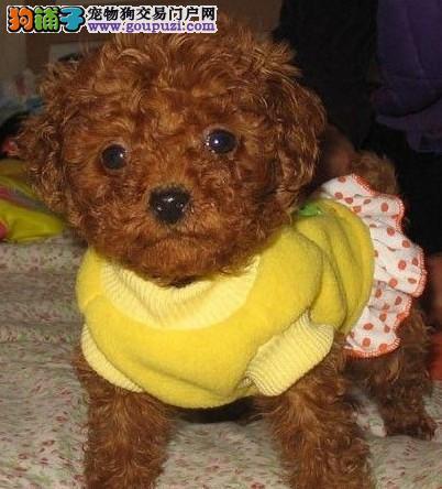 信誉保证 结爱狗人士 诚信出售泰迪犬 可以送货 签协议