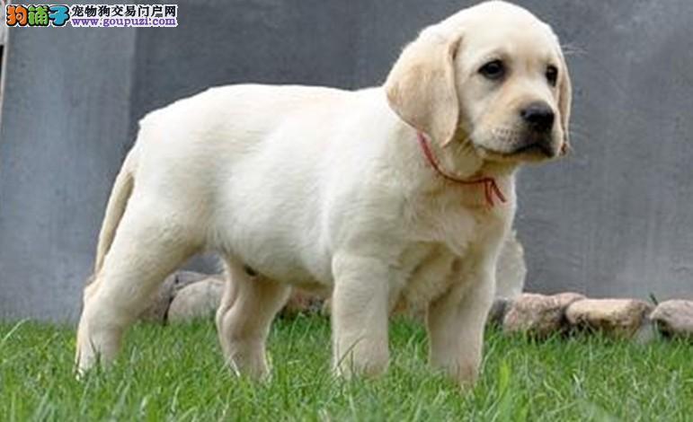 信誉保证 结爱狗人士 基地诚信出售拉布拉多犬 签协议