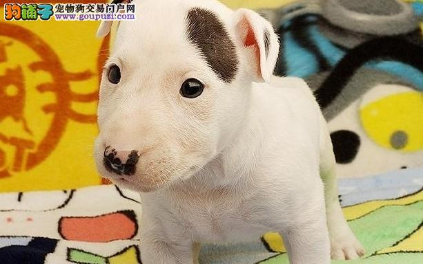 CKU认证犬舍出售高品质牛头梗以品质惊世人