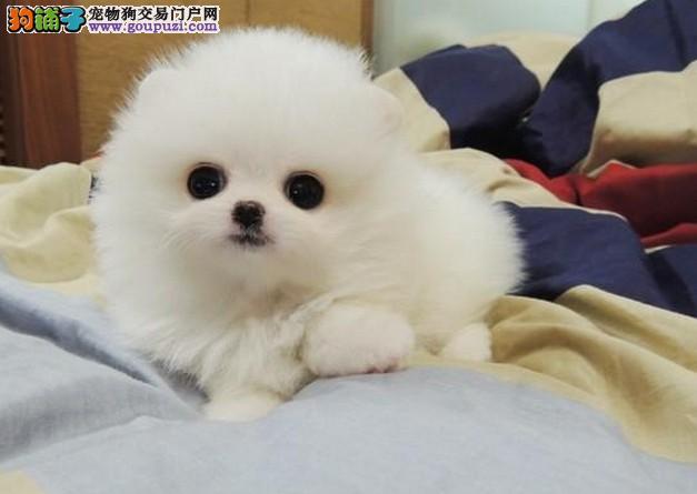 信誉保证 结爱狗人士 诚信出售博美犬 可以送货 签协议