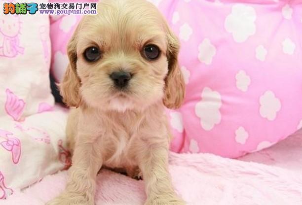 信誉保证 结爱狗人士 诚信出售可卡犬 可以送货 签协议