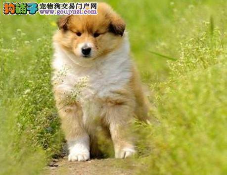 苏牧/极品牛蹄子藏獒在这里、纯种和健康、可以獒园看幼犬[两个月公母...