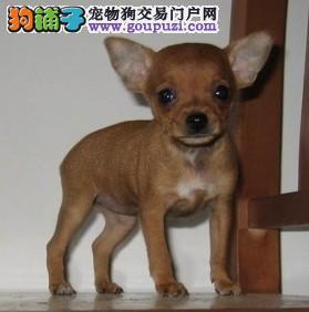 正规犬舍繁殖小鹿犬幼犬 公母均有带血统 疫苗齐全