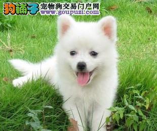 南宁本地出售高品质银狐犬宝宝狗贩子请绕行