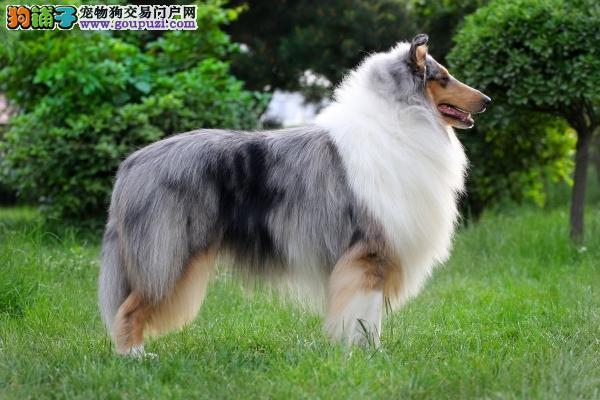 长沙哪里出售苏格兰牧羊犬苏格兰牧羊犬出售