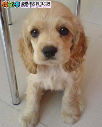 合肥繁殖基地出售顶级英系及美系可卡幼犬免疫质保齐