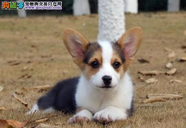 纯种柯基幼犬、公母均有多只选择、三年质保协议