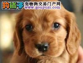 纯种英美直系 可卡幼犬宝宝