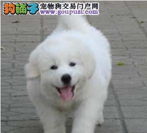 热销大白熊幼犬 注射芯片颁发证书 寻找它的主人