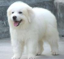 郑州出售大白熊幼犬品质好有保障签订协议包细小犬瘟热