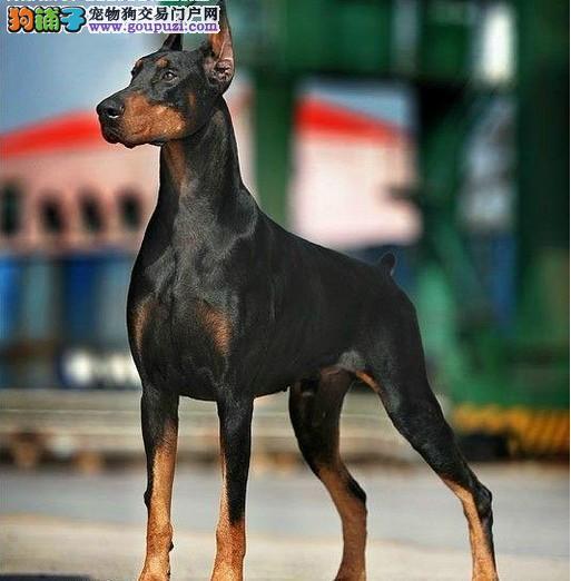 cku认证犬舍出售赛级杜宾 包纯种健康签订质保协议