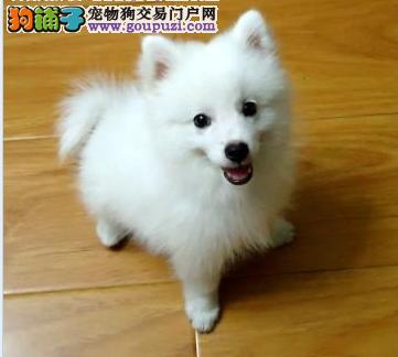 超级美女 纯种 《日本银狐宝宝 》 欢迎选购!!