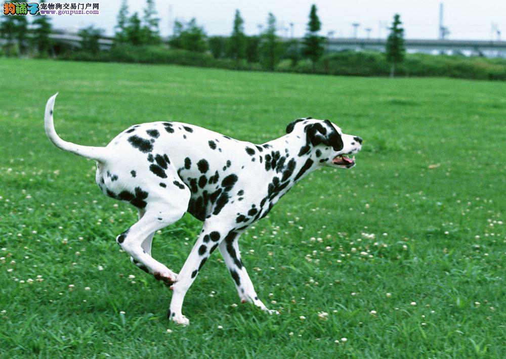 出售纯种家养高品质健康可爱的斑点犬