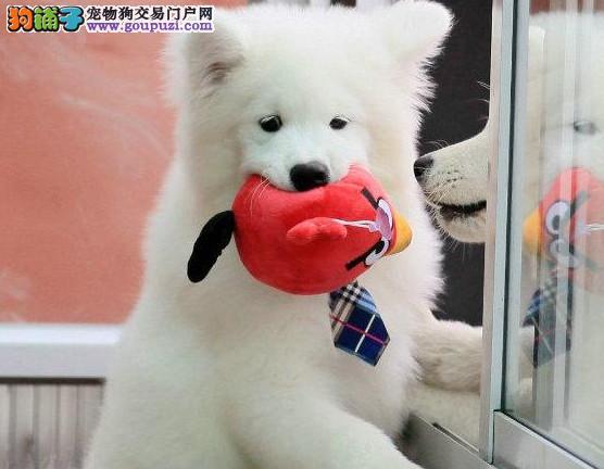南京银狐犬 日本尖嘴银狐纯种幼崽待售中