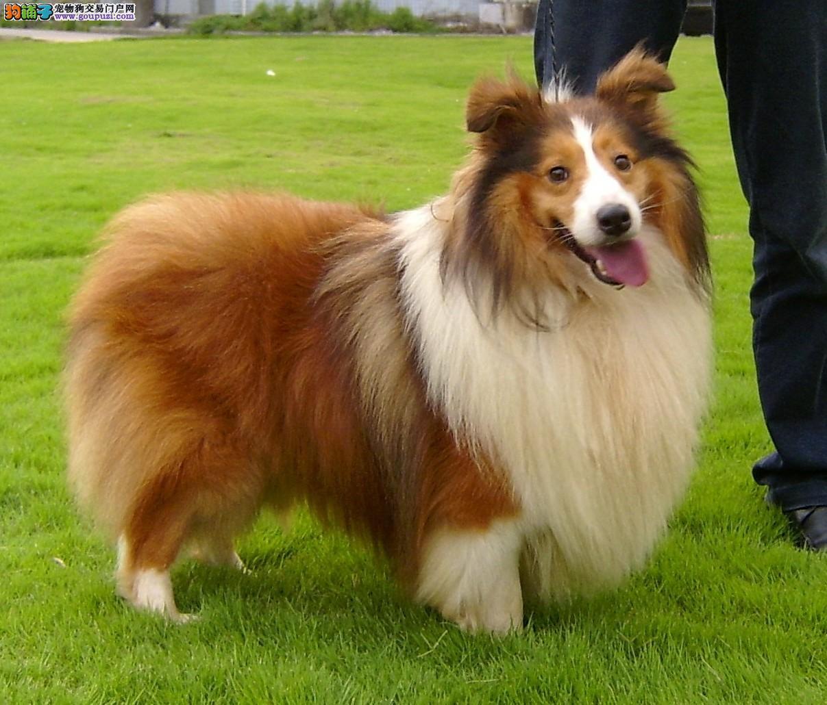 权威机构认证犬舍 专业培育喜乐蒂幼犬加微信送用品
