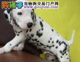 赛级斑点犬 品质保证 打完疫苗有证书芯片